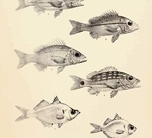 The fishes of India by Francis Day 013 - Lutianus Quinquelinearis, L Vui Ta, L Madras, I Decussatus, Ambassis Nama, A Ranga by wetdryvac