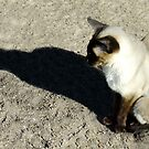 Shadow of a Photographers Cat by Bevellee