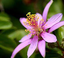Lavender Star Flower 2 by TeAnne
