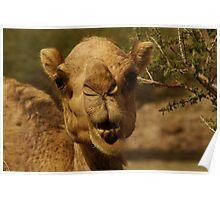 Emirates Camel Poster