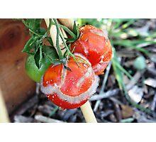 Tomato past harvest Photographic Print