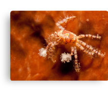 Boxer Crab, North Sulawesi, Indonesia Canvas Print