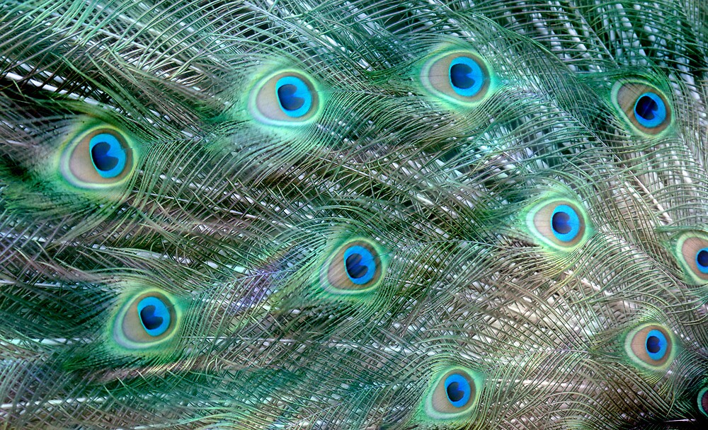 Shake your Tail Feathers Mr Peacock ! by Jenny Dean