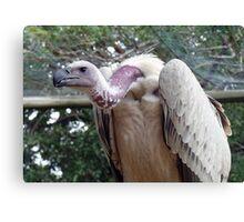 scavenger - Vulture, South Africa Canvas Print