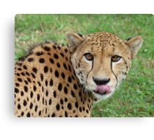 Hungry Cheetah - South Africa Canvas Print