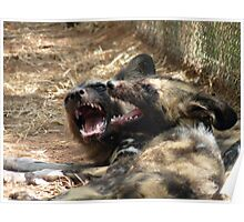 African Wild Dogs Poster