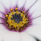 Osteospermum Number One by Jonathan Hughes