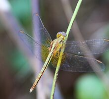 Dragonfly3 by Philip Alexander