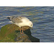 Juvenile Pacific Gull Photographic Print