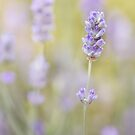 Lavender blue by Mandy Disher