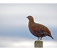 Red Grouse Photographic Print