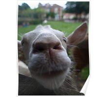 Goat - St Werburghs City Farm Poster