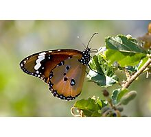 African Monarch Butterfly Photographic Print