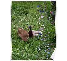 Ducks Amongst the Flowers - St Werburghs City Farm Poster