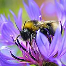 Bee on Cornflower by Jonathan Hughes