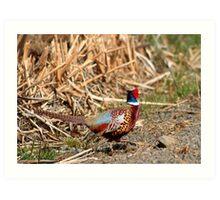 Rooster Pheasant Art Print