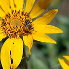 Spring Daisy and pollinating Bee by rnrphoto98