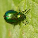 Gastrophysa viridula or green dock beetle by Jon Lees