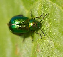 Gastrophysa viridula or green dock beetle by Jon Lees
