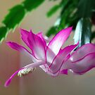 Christmas Cactus by George Cousins