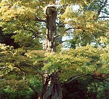 Gnarly Old Oak Tree by Shawnna Taylor