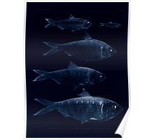 The fishes of India by Francis Day 162 - Inverted - Clupea lile Corica soborna Ilisha Tridia Poster