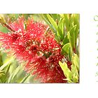 Red Bottlebrush by LynneHerry