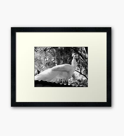 Albino Peacock Delivers Inspirational Speech From Atop Mount Corrugate Framed Print