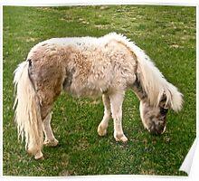 Shaggy Mini Horse Poster