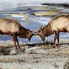 Sparring Elk at Mammoth Hot Springs,  Yellowstone N.P. by Ann  Van Breemen