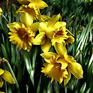 daffodils by Rosemary Scott