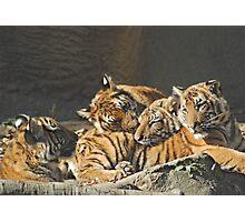 Malayan Tiger Cubs Photographic Print