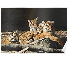 Malayan Tiger Cubs Poster