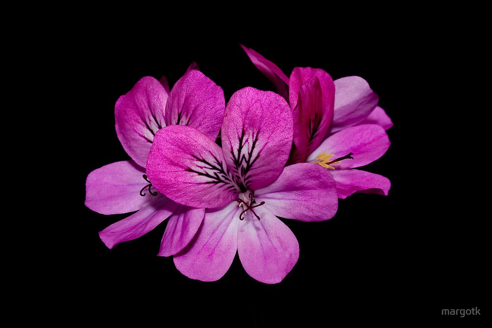 Geranium Flowers by margotk