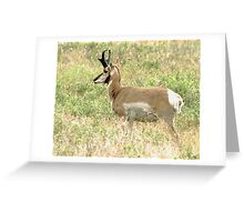 pronghorn buck Greeting Card