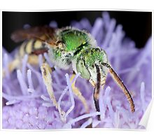 Green Bee on perennial Ageratum Poster