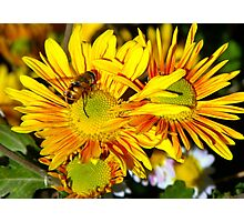 Hover fly on Yellow Photographic Print