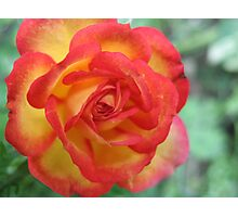 Symphonic Coloured Rose Photographic Print