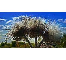 Thistle Blooms Photographic Print