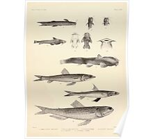 The fishes of India by Francis Day 117 - Amblyceps mangois Indicus Myops Saurida tumbil Saurus indicus_ Poster