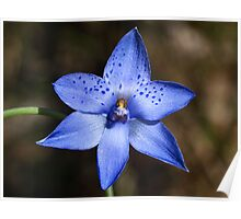 Dotted Sun-orchid (Thelymitra ixioides) Poster