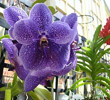 The Purple Orchid by Brandon Sicard