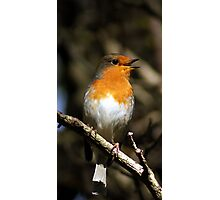 Robin in a tree Photographic Print