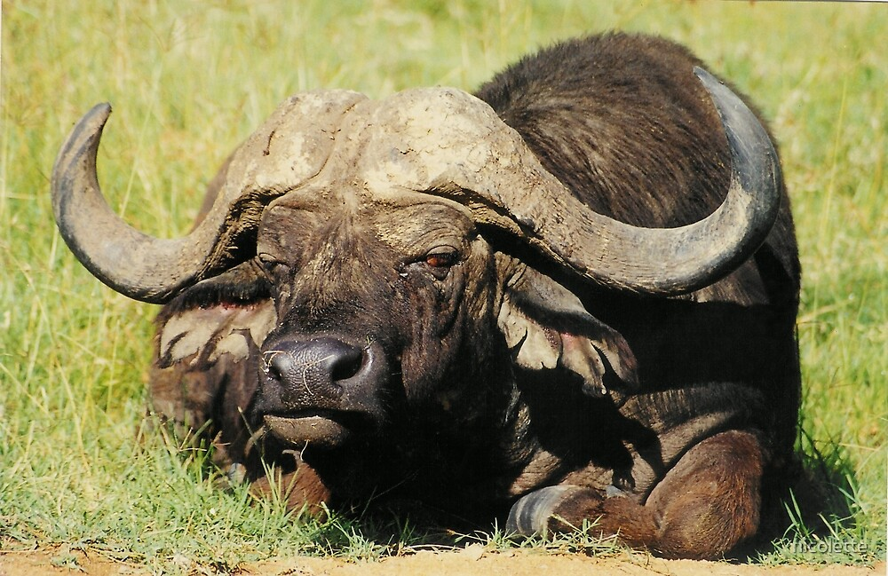African Buffalo by nicolette