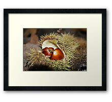 Chestnuts fallen from a tree Framed Print