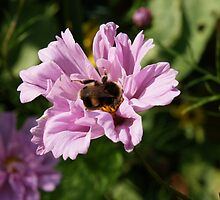 Bumble Bee on a flower by MendipBlue