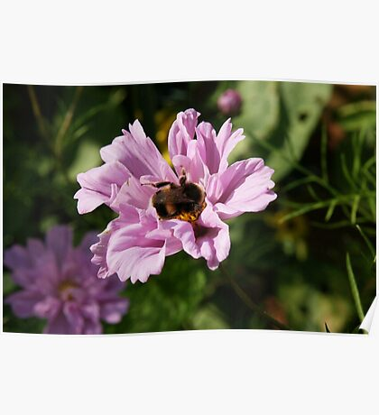 Bumble Bee on a flower Poster