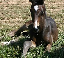 Jane's foal, two days old! by nicolette