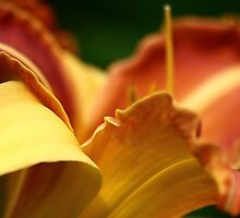 Asiatic Lily, Milner Gardens, Vancouver Island by NancyR