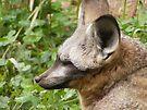 Bat-Eared Fox by Dave & Trena Puckett